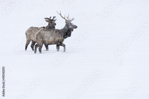 Elk in snowstorm in Colorado Rockies Plakát
