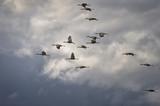 Sandhill cranes in flight during spring migration in Nebraska