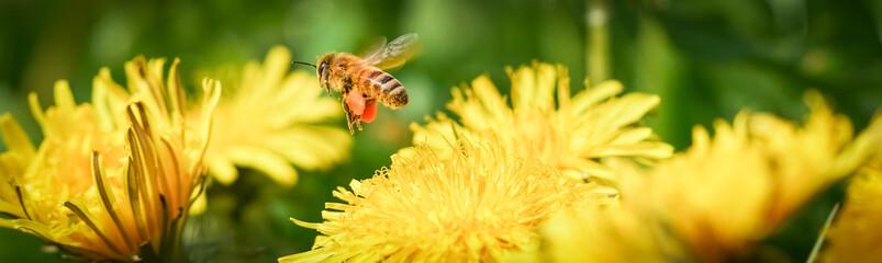 Biene mit befüllten Pollentaschen fliegt Löwenzahnblüte an