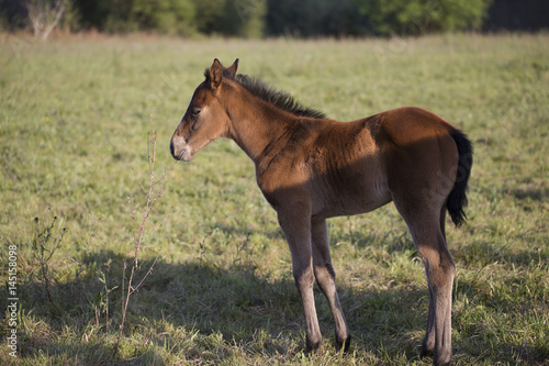 Poster Foal
