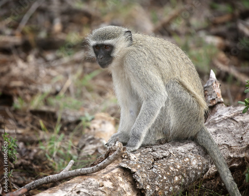 wild velvet monkey in Kruger National Park, South Africa. Poster