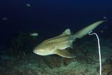 Zebra Shark (Leopard Shark)