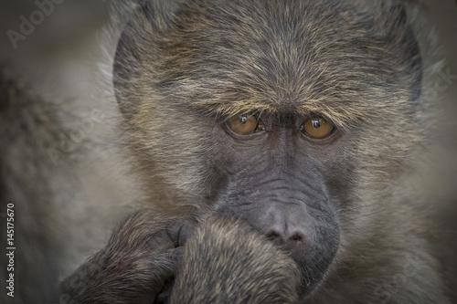 Contemplative Baboon Poster