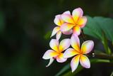 Plumeria flowers, natural tree