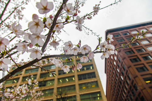 Poster Sakura over building in Tokyo Japan on March 31, 2017 | Cherry blossom spring se