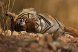 Huge tiger male is resting in india/wild animal in the nature habitat/indian wildlife/ranthambhore national park/wild big cats/permanent stripes