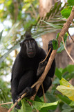endemic sulawesi monkey Celebes crested macaque
