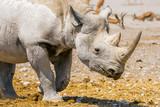 Portrait of a Black (hook-lipped) rhino walking in Etosha national park, Namibia