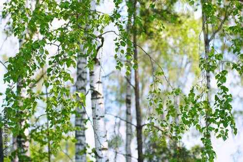 Zdjęcia na płótnie, fototapety na wymiar, obrazy na ścianę : Young slim thin birch trees in the spring in the forest. Branches of birch trees with young juicy leaves in the summer sun in the open air.