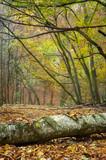 Herbst. Ein umgefahlener Baum im Wald.