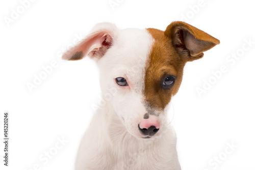 Poster Three months old puppy