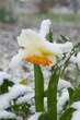 Постер, плакат: Нарциссы холодной весной в снегу