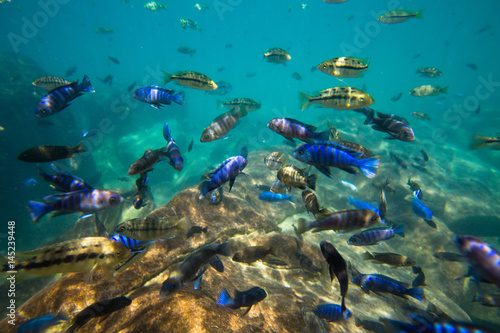 Underwater world of Lake Malawi - Malawi