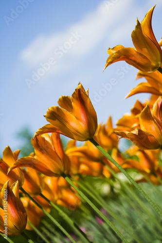 Papiers peints Nature Gemêleerde tulpen oranje - geel, diagonaal in beeld met in de achtergrond een blauwe lucht met wolken.