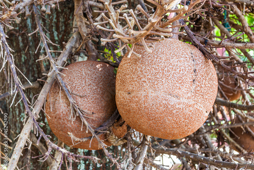 Closeup to Shala Fruit, Cannonball tree [Shorea Robusta] - 145242490