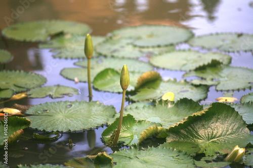 Purple lotus / water lily / Lotus pond Poster