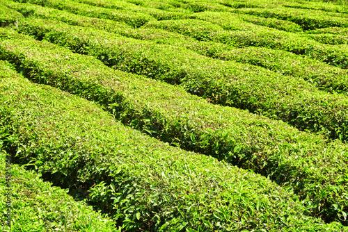 Rows of bushes on tea plantation. Bright fresh tea leaves