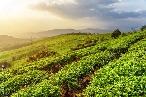 Rows of young tea bushes at tea plantation at sunset