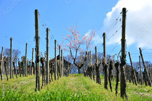 Typische alte Weinberghäuschen mit blühendem Mandelbäumchen im Frühling in den W Poster