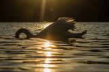Swan dipped his head under the water on the river in the rays of the setting sun