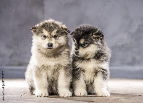 Wonderful puppies of the Alaskan Malamute Poster