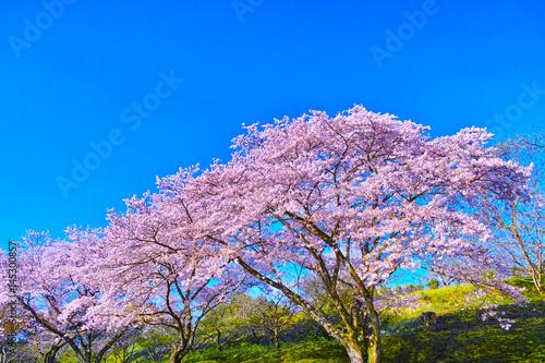 富士市 満開の桜咲く岩本山の景色 Poster