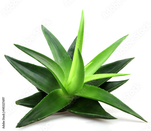 Aloe Vera Plant Isolated On White Buy Photos Ap Images Detailview