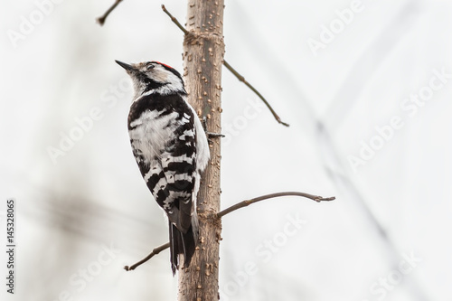 Lesser-spotted woodpecker
