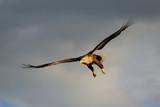 Seeadler im Segelflug, Norwegen