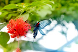 Beautiful butterfly is eating nectar from the huge red tropical flower