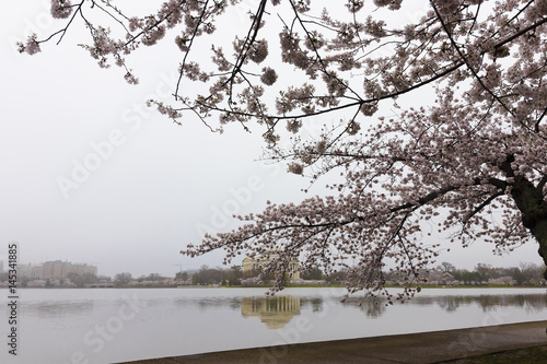 Historic view looking through the famed cherry blossoms and subsiding fog toward Poster