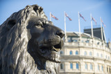 Handsome portrait of one of the Trafalgar Square Lions against the traditional architecture of London, England