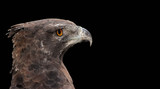 Portrait of a martial eagle (Polemaetus bellicosus) on black, South Africa.