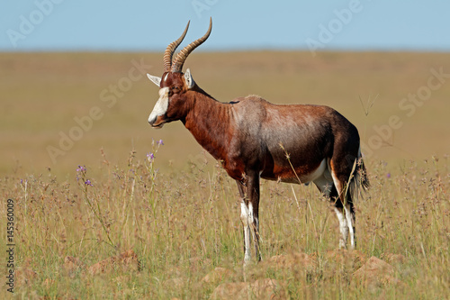A blesbok antelope (Damaliscus pygargus) standing in grassland, South Africa.