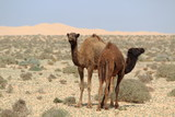 Young Dromedaries in Morocco in the desert