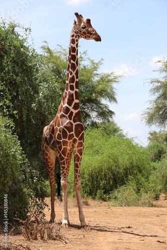 Poster Giraffe in Samburu National Reserve