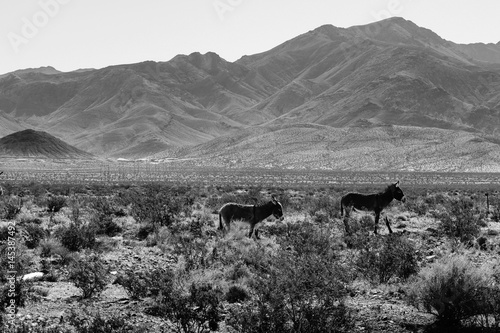Wild Donkys in Death Valley, CA Poster