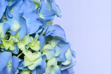 Close up of Early Blue Hydrangea with copy space.  Horizontal format for card