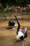 Black swan and cygnet in the lake.