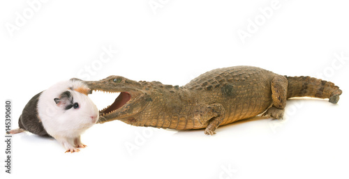 guinea pig and caiman