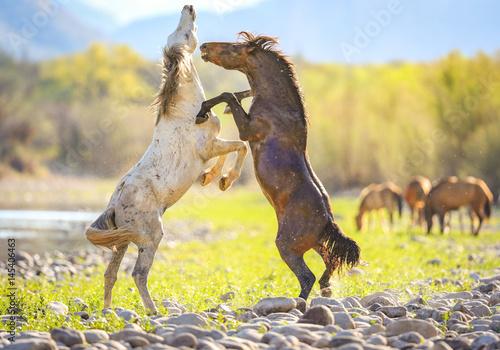 Wild Horses @ Salt River, Arizona Poster