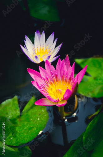 A purple and a pink lotus. Selective focus. Poster
