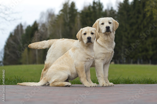 two dogs friends Labrador kennel