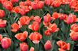 Tulips Cute