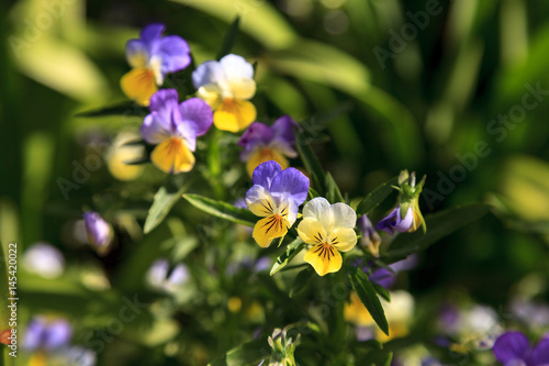 Purple, yellow and white Viola flower