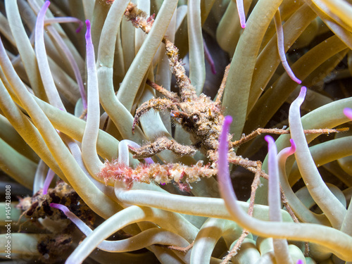 Ghost crab and anemone