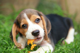 purebred beagle puppy is enjoy eating fruit, 2 months strong male beagle puppy  - 145432438