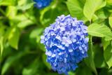 Blue Hydrangea flower in Japan