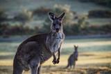 Large kangaroo in rural setting at dawn