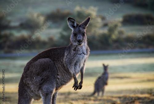 Aluminium Kangoeroe Large kangaroo in rural setting at dawn